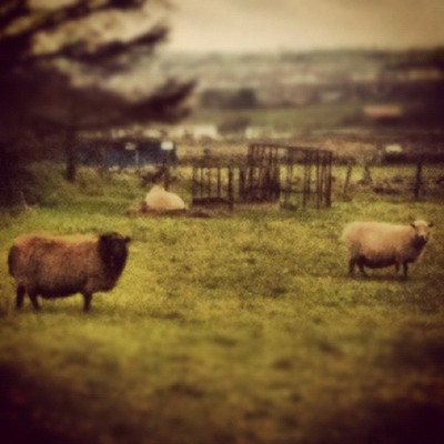 Hiya Sheep #sheep #animals #farm #grass #tree #trees #nature #wildlife #landscape #buildings #road #hill #sky #weeds #grass #plants #instagram #moss #branches  (Taken with instagram)