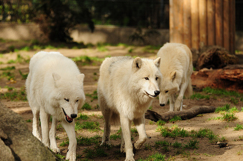 passionforsuccess:  White Wolf Band. (by lucram2)