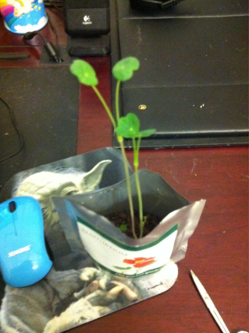 Aahhh my nasturtium is starting to grow super fast i am so happy squee. Lookit teh preddy planties. Theyre GROWINGGG! :D