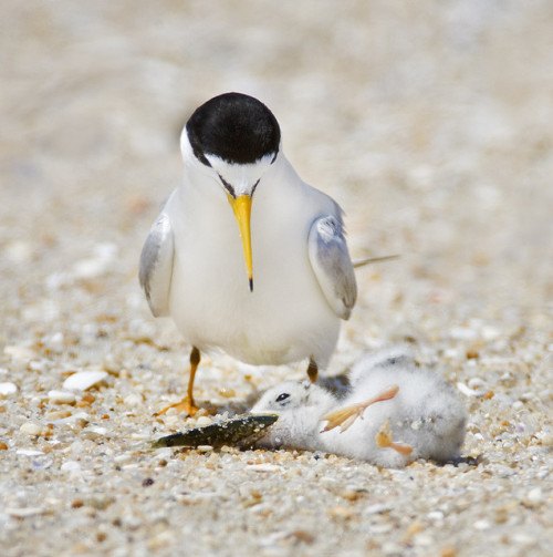 fairy-wren:  least tern struggling with meal (photos by jim gilbert)