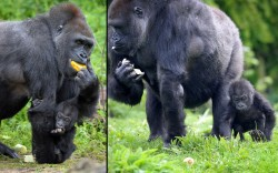 theanimalblog:  Seven-month-old baby gorilla named Kukena takes his first steps with his mother Salome, at Bristol Zoo Gardens.  Picture: Tim Ireland/PA