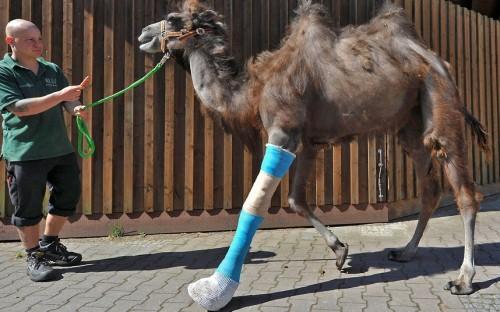 A keeper walks Laila, a camel with a broken leg, at a horse clinic in Berlin. Picture: Paul Zinken/AP