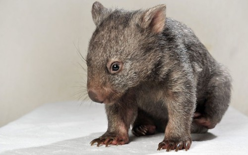 Yogi the orphaned baby wombat, is seen at the Darraweit Guim Wildlife Shelter in Melbourne, Australia. The tiny wombat was found in early February when a couple noticed one of their alpacas staring intently at something on the ground.  Picture: Craig Borrow/Newspix / Rex Features