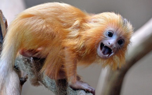 tumblr m3jzgzbACX1qzya49o1 500 A little Golden Lion Tamarin watches visitors at the zoo in...