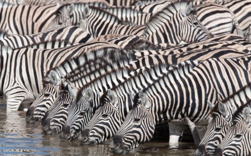 theanimalblog:  A herd of zebras drink at a waterhole in Etosha National Park, Namibia. Wildlife photographers Ann and Steve Toon from Hexham, Northumberland, captured the scene. Ann said: It was particularly amazing to see so many zebras there in the national park. Because of heavy rainfall, the herd was twice the size we anticipated - we had never seen quite so many before. Picture: Ann & Steve Toon/Solent News & Photo Agency
