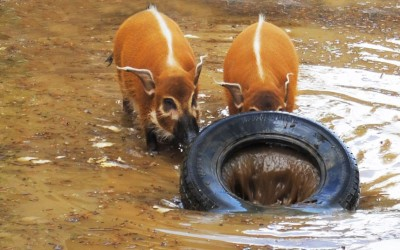 Red River Hogs at Colchester Zoo in Essex enjoy the wet weather.  Picture: Colchester Zoo / Rex Features