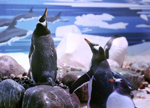 Gentoo penguin Vladamir (left) and the object of his affection Ronnie start their annual courtship ritual in the London Aquarium, where staff are hoping to encourage the first penguins to mate at the tourist attraction.  Picture: John Stillwell/PA