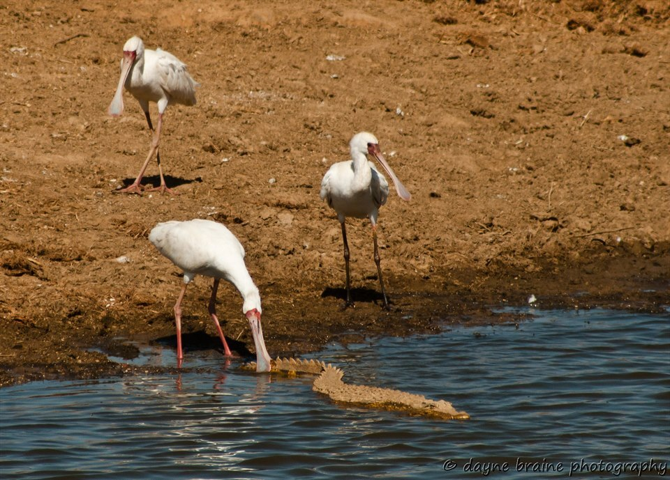 funnywildlife:  African Spoonbill (Platalea alba) showing that birds do infact have balls.Erindi, Namibia. by Dayne Braine Photography
