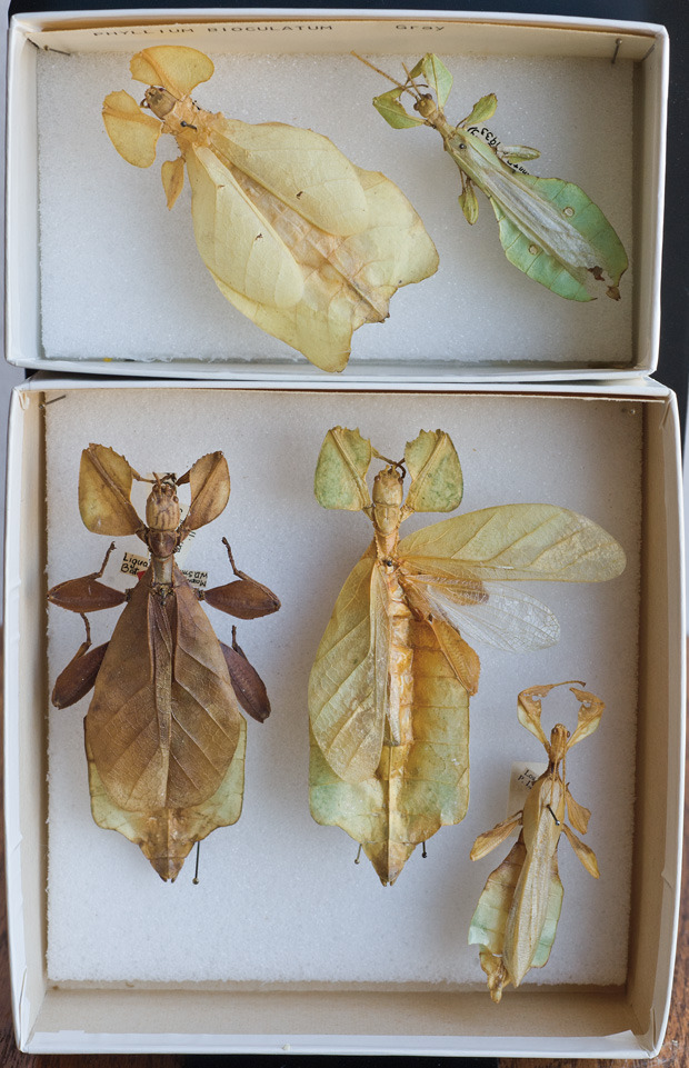 Leaf insects, found in rain-forest canopies of tropical Asia, Rosamond Purcell