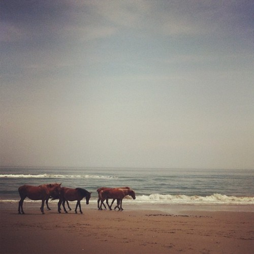 On the #beach and the #horses passed by 😍#obx #nc #wildhorse #mustang #wild #ocean #waves #currituck #carova #4x4 (Taken with Instagram at Carova Beach 4x4)