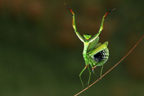 earth-song:  animals-animals-animals:Mediterranean Mantis (by Hasan Baglar)
