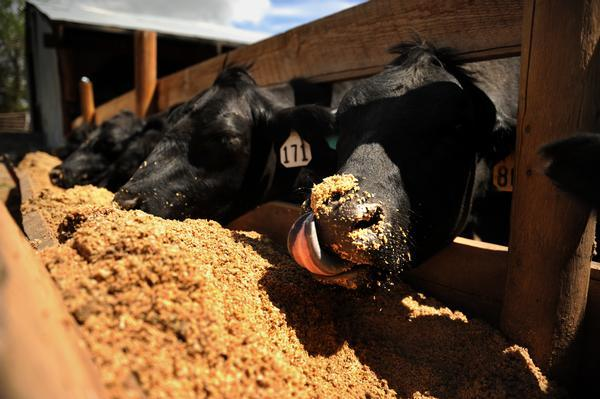 Beer mash fattening cows, trimming costs in Colorado Explosive growth in Colorado's craft-brewing industry produces not only more beer, but more beer byproducts. That means the hamburger you eat next week may come from a steer happily fed last week with brewing leftovers. Using spent grains for livestock feed dates to the advent of beer. But with corn and other commodity prices sky high, feedyards increasingly are using brewing byproducts to help fatten cattle in preparation for slaughter.