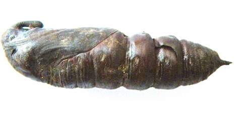 "Hawk Moth pupa ""We must always change, renew, rejuvenate ourselves; otherwise we harden."" —Johann Wolfgang von Goethe"