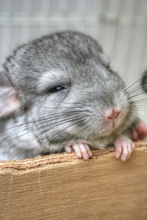 dailychinchilla:  (via)