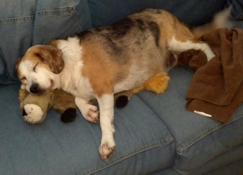 Chloe sleep-guarding her stuffy Submitted by Cindy