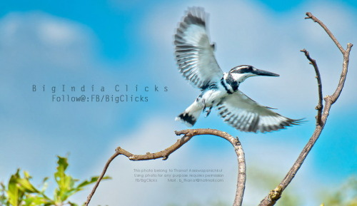 Pied kingfisher on action!!