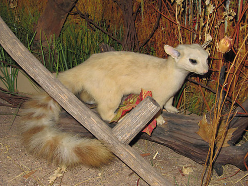 Albino ringtail. I'm sad that many albino pictures are of deceased and/or taxidermied specimens.