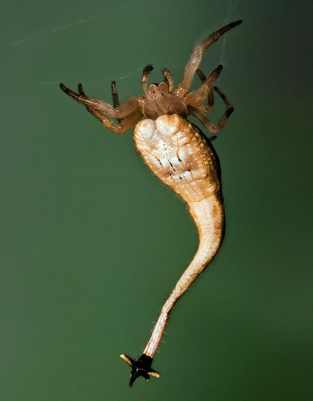 adorablespiders:  Tailed Spider  Arachnura higginsi   Arachnaphobes, your nightmare.