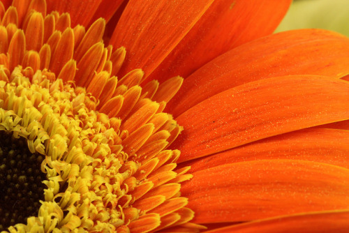 sapphire1707:  Orange Gerbera not Orange Sunflower by AJ Brustein on Flickr.