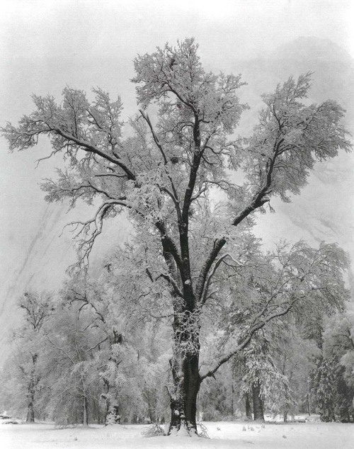 oaktree, snowstorm, yosemite national park - ansel adams, 1948