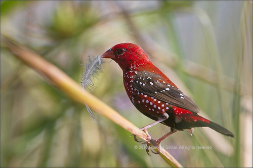 nanitutu:  Red Avadavat by Hitendra Sinkar on Flickr.