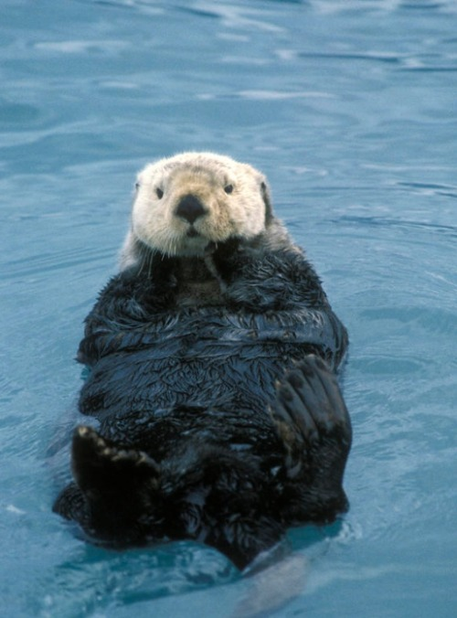 ellenzee:  Closeup Sea Otter