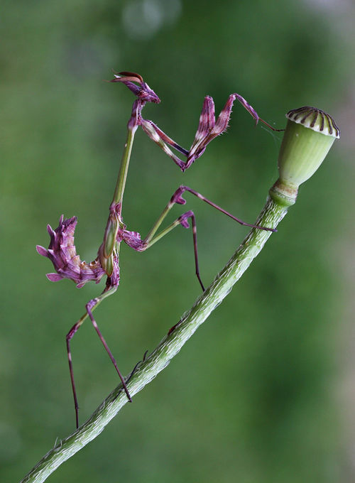 Mantids are the Alexander McQueen of the insect world!