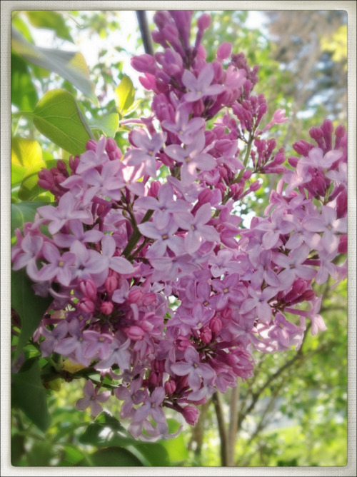 Time for the lilacs