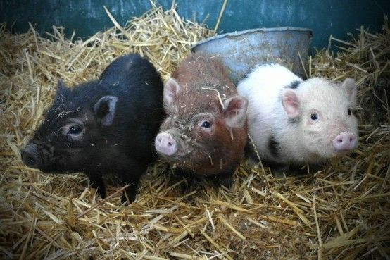 llbwwb:  3 Little porkers via:cuteoverload