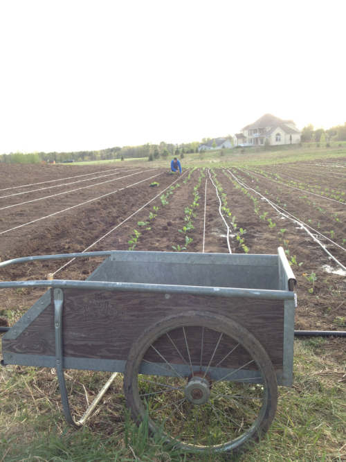 Transplanting several hundred beets on a gorgeous afternoon.