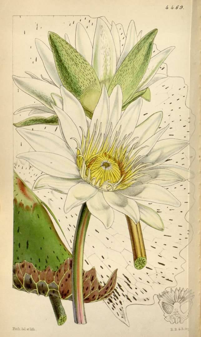 scientificillustration:  Nymphaea ampla (Salisb.) DC. From: Curtis's Botanical Magazine, vol. 75 [ser. 3, vol. 5]: t. 4469 (1849) [W.H. Fitch]