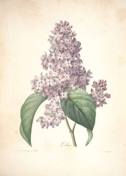 God, lilac is the favourite flower of mine