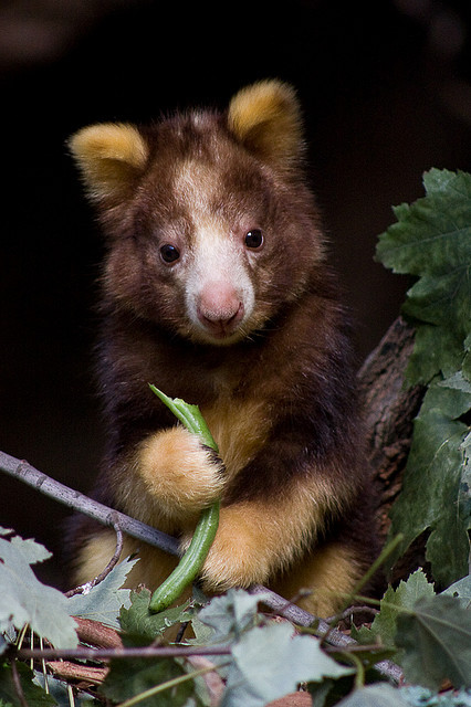 worldlyanimals:  Tree kangaroo baby Portrait by Evan Animals on Flickr.