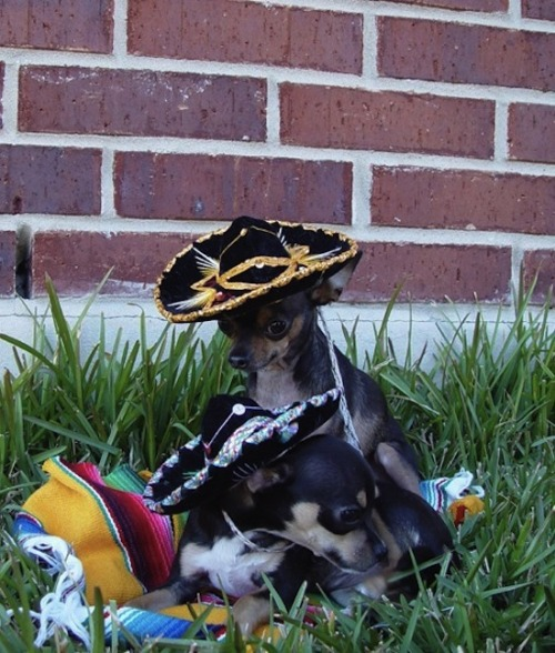 Happy Cinco de Mayo from my puppies!