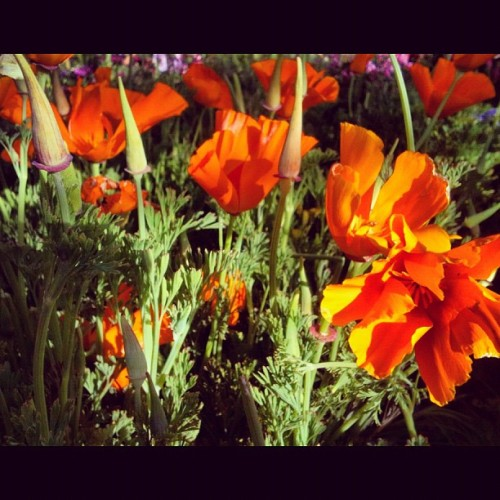 Poppies! #flowers #orange #californiapoppies #pretty #latergram  #spring (Taken with instagram)