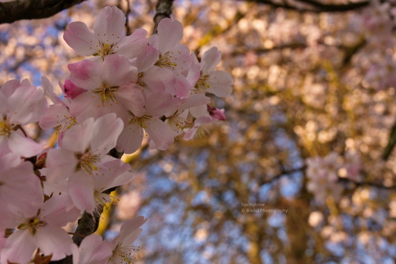 Springtime Cherry blossoms in the Rombergpark. Canon EOS 40D 1/160s ISO 400 f/11.3 Rombergpark, Dortmund, Germany Flickr - Twitter - Facebook - Google+ - Posterous - 500px Copyright © BorisJ Photography - Boris Jusseit - all rights reserved - please do not use this image on any media without my permission.