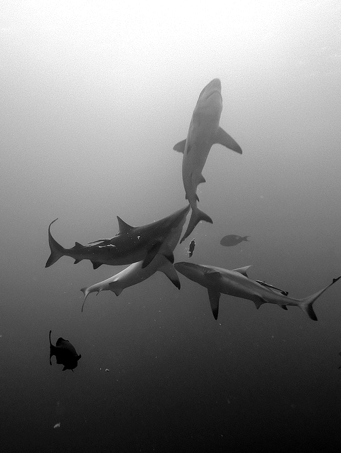 (via Sharks swimming – black and white | Murray Mitchell)