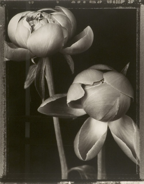 flasd:  Tom Baril, Peony Buds, 1997 (from Botanica), Gelatin silver print
