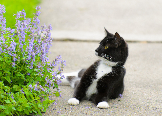 Da Fuck? by niXerKG on Flickr.A cat questions the meaning of this lilac bush.