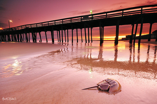 Like a beached alien, this horseshoe crab greets the dawn. bugbrained:  Horseshoe Crab at Sunrise by ByTheChesapeakeBay, on FlickrI've always wanted to see horseshoe crabs. Alas, they don't really make appearances in my area.