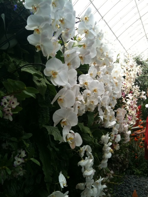 nybg:  lala-x:  Botanical Garden's orchid exhibit in Manhattan ^_^  Actually, we're in the Bronx, but who's counting! Thanks for visiting! Looks like you had a blast.  Looks like there's some great bromeliads at this garden! Top row, left and right corners. Left looks like an Aechmea fendleri hybrid, maybe Aechmea 'Del Mar' on the right there's a nice flowering Alcantarea imperialis.