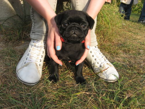 vader the pug eight weeks old