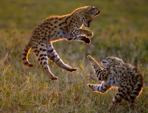 magicalnaturetour:  Serval cubs play in the Masai Mara. (Paul Goldstein / Exodus / Rex Features) (via Animals in flight: NEWS IN PICTURES) :)