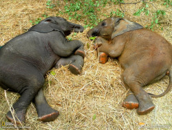 1000cutethings:  401. Baby Elephants Napping Suni, 7 months, and Zambezi, 6 months, both orphans at the Elephant Orphanage Project in Zambia, take an afternoon nap.  The Project rescues elephants, rehabilitates them, and releases them back into the wild.