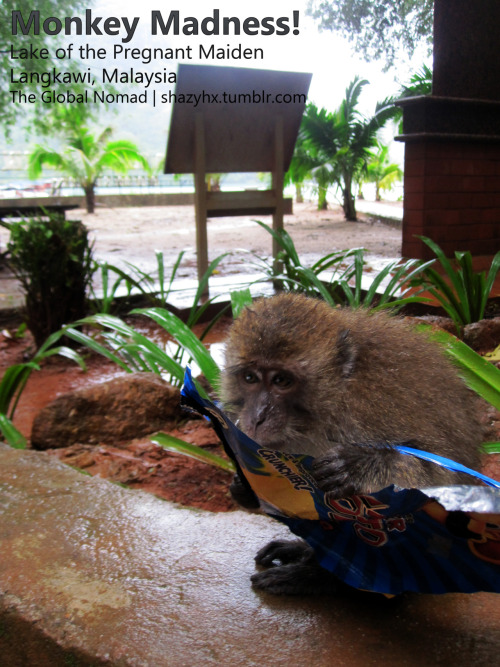 "Monkey Madness: Chips-eating monkeys! Wildlife disaster.  OMFG! This was my first reaction; not a very positive one though. While many people found it funny and thought of it as some clown in a circus, I was appalled. So you must be wondering where this is. The little thing lives on an island called Lake of the Pregnant Maiden, a few kms away from the well-known tourist spot, Langkawi, in Malaysia. The island, with its nice mountains and lake surrounded by mountains, is the home of those small individuals. I wouldn't know the species and hence, for the sake of this post, we'll name it, Monkey. So Monkey and his friends have similar tastes with us, humans. They LOVE chips and canned drinks! They even lick the salt out of the pack, kinda like kids do!Chips are to Monkey, what cocaine is to drug addicts. As a matter of fact, while we were walking on the track, eating our Pringles, we were about to get mugged by this little fellow. Yes! Imagine telling your friends this story >.< Monkey came running trying pretty hard to get hold of the Pringles and we ran, and ran, to save our souls.I bet he thought to himself ""You stupid tourists, this is what you get for littering on my island."" I fear the little ones have gotten used to our junk-food-ness! So, next time you're there be careful as not to get your eye balls ripped of by Monkey and his gang because your predecessors were too dumb to respect a foreign, and formerly virgin environment and too retarded to walk a bit further and use the bin!  What you give, you get back!"