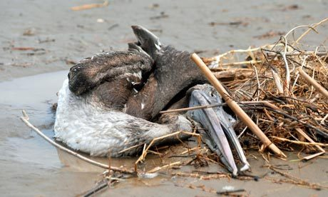 "Peru issues public health alert over pelican and dolphin deaths Peruvian government urges people to stay away from Lima's beaches as it investigates deaths of thousands of animals Peru's government has declared a health alert along its northern coastline and urged residents and tourists alike to stay away from beaches, as it investigates the unexplained deaths of hundreds of dolphins and pelicans. At least 1,200 birds, mostly pelicans, washed up dead along a stretch of Peru's northern Pacific coastline in recent weeks, health officials said, after an estimated 800 dolphins died in the same area in recent months. The health ministry on Saturday recommended staying away from beaches, though stopped short of a ban, and called on health officials to use gloves, masks and other protective gear when collecting dead birds. The agriculture ministry said preliminary tests on some dead pelicans pointed to malnourishment. Oscar Dominguez, head of the ministry's health department, said experts had ruled out bird flu. The peak tourism season around Lima's beaches is over, though many surfers are still venturing into the waters near the capital. ""The health ministry … calls on the population to abstain from going to the beaches until the health alert is lifted,"" the ministry said in a statement posted on its website, along with a photograph of a dead pelican. It added that officials had so far checked 18 beaches in and around Lima for dead birds, but gave no details on any findings. A mass pelican death along Peru's northern coast in 1997 was blamed at the time on a shortage of feeder anchovies due to the el Niño phenomenon. Pictured: Peru is investigating the deaths of more than 1,200 birds, mainly pelicans, as well as those of 800 dolphins along a 40-mile stretch of coastline. Photograph: Violeta Ayasta/AFP/Getty Images"