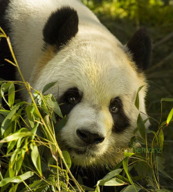 funkysafari:  Giant Panda by danihernanz