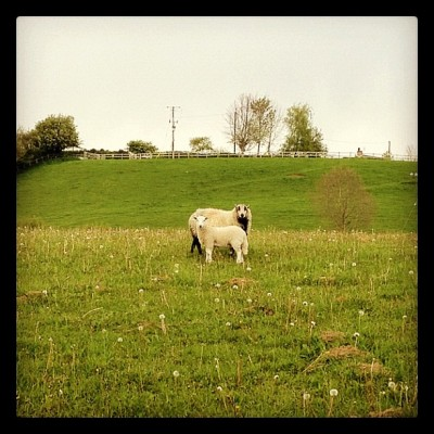 SHEEP!! #tweegram #instagood #iphonesia #love #spring #instamood #igers #iphoneonly #instagramhub #jj #wales #cute #picoftheday #trees #clouds #sun #sunset #instadaily #sky #webstagram #beautiful #instatags #river #instagramers #country #countryside #view #scenery #sheep #iphone4s (Taken with instagram)