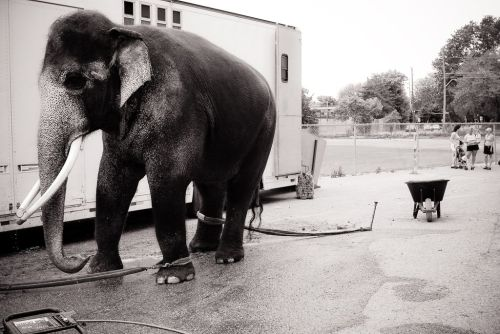 "ccanimalfreedom:  ""An elephant awaits performance night at a circus. Women with their children idly chat in the background. Barrie, Canada."" Credit Jo-Anne McArthur (We Animals)"