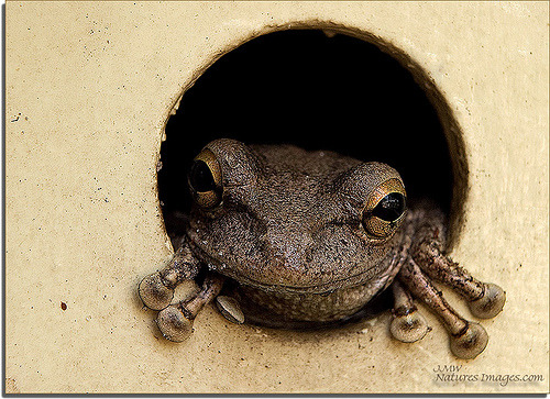 Cuban-Tree-Frog 2 (by JMW Natures Images)
